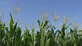 tassels : Green corn plant in early summer, closeup of tassel and leafs over blue sky Stock Footage