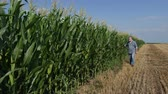 agronomist : Farmer or agronomist  inspecting quality of corn plants in field in early summer