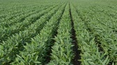 planta : Agriculture, green cultivated soy bean plants in field with wind blowing Vídeos
