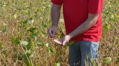 planta : Farmer or agronomist examining soybean plants field in late summer Vídeos