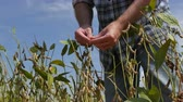 planta : Farmer or agronomist examining soybean plants field in late summer. Vídeos