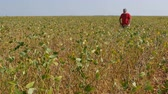 planta : Farmer or agronomist examining soybean plants field and crop in late summer
