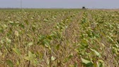 reaping : Soy bean plant in field, combine harvesting crop, selective focus on plants