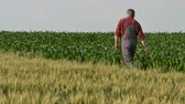 peasant : Farmer or agronomist inspecting quality of corn and wheat plants in field, late spring