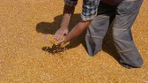 сумма : Corn harvest examining, farmer at heap of crop holding and pouring seed