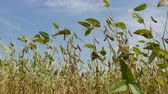 стручок : Closeup of soy bean crop at plants in field with blue sky
