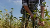 planta : Farmer or agronomist examining soybean plants field in late summer, 4K footage Vídeos