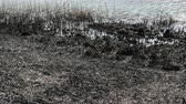 Natural disaster, destroyed cane grass and bush at riverbank in marsh after fire, 4K footage