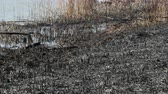 Natural disaster, destroyed cane grass and bush at riverbank in marsh after fire