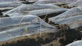 Field of watermelon and melon plants under small protective plastic greenhouses, agriculture in spring