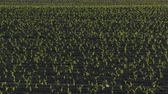 Rows of young green corn plants in field in sunset, agriculture in spring