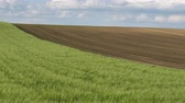 cultivating : Green wheat field with corn field in background, agriculture in spring