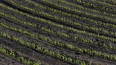 Rows of young green corn plants in field with selective focus, agriculture in spring Stok Video