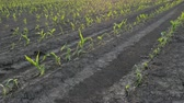 crop loss : Rows of young green corn plants in field damaged in hail storm, agriculture in s