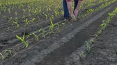 crop loss : Farmer  inspect young green corn plants in field damaged in hail storm, agriculture in spring Stock Footage