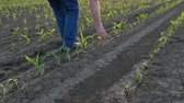 Farmer  inspect young green corn plants in field damaged in hail storm, agriculture in spring Stok Video
