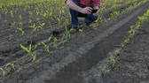 Farmer  inspect young green corn plants in field damaged in hail storm and taking photo using mobile phone Stok Video
