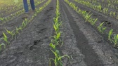 Farmer  walking in young green corn field damaged in hail storm
