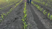 Farmer  examining  young green corn plants in field damaged in hail storm, agriculture in spring Stok Video