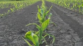 Rows of young green corn plants in field damaged in hail storm, agriculture in spring