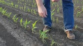 kroupy : Farmer  inspect young green corn plants in field damaged in hail storm, agriculture in spring Dostupné videozáznamy