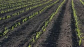 foco seletivo : Rows of young green corn plants in field in sunset, agriculture in spring
