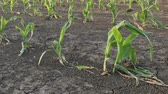 crop loss : Rows of young green corn plants in field damaged in hail storm, zoom in video, agriculture in spring
