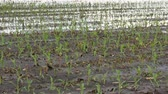 Rows of young green corn plants in field damaged in flood, horizontal panning video, agriculture in spring