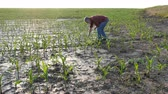 Farmer  inspect young green corn plants in mud, damaged  field after flood, agriculture in spring