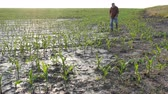 Farmer  examining young green corn plants in mud, damaged  field after flood, agriculture in spring