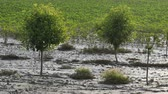 milharal : Trees in orchard in mud after  flood with sunflower field in background