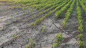 rachado : Drought after flood in soy bean field with cracked land
