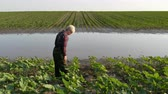 Female farmer inspect young green sunflower plants in mud and water and speaking by mobile phone, damaged field after flood in spring