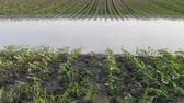 Rows of young green sunflower plants in mud and water,  field damaged in flood