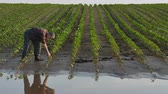 Farmer inspect young green sunflower plants in mud and water anf speaking by phone, damaged field in flood Stok Video
