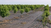 Trees in orchard in mud after  flood, zoom out 4k footage