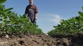 planta : Farmer or agronomist walking and examining soybean plant in field, low angle 4K agricultural video