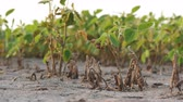 sojabohne : Young damaged soybean plants in field, drought after flood