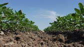 sojabohne : Green cultivated soy bean plant in field with clear blue sky, low angle, agriculture in spring