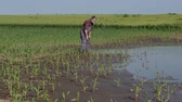 milharal : Farmer inspect young green corn plants in mud and water, damaged field after flood, agriculture in spring
