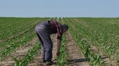 agronomist : Farmer or agronomist walking and  inspecting quality of corn plants in field