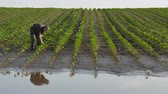 iszapos : Farmer  inspect young green sunflower plants in mud and water and typing to mobile phone, damaged  field after flood Stock mozgókép