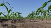 planta de maiz : Rows of young green corn plants in field low angle, agriculture in spring Archivo de Video