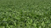 legumineuse : Panning video of green cultivated soy bean field in late spring or early summer, telephoto shot 4K footage Vidéos Libres De Droits