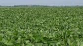 planta : Agriculture, green cultivated soy bean field in late spring or early summer, 4K footage Vídeos