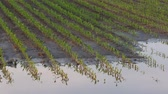 milharal : Panning video of young green corn plants in mud and water, damage in field after flood