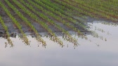 milharal : Zoom in video of young green corn plants in mud and water, damaged field after flood