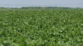 planta : Dolly, panning video of green cultivated soy bean field with watering system in spring time Vídeos