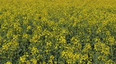 fazenda : Dolly, horizontal panning video of blossoming canola, oil rape plants in field, selective focus telephoto horizontal panning 4K footage Stock Footage