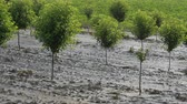 iszapos : Cherry trees in orchard in mud after  flood with sunflower field in background